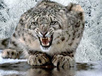 Snow Leopard-1